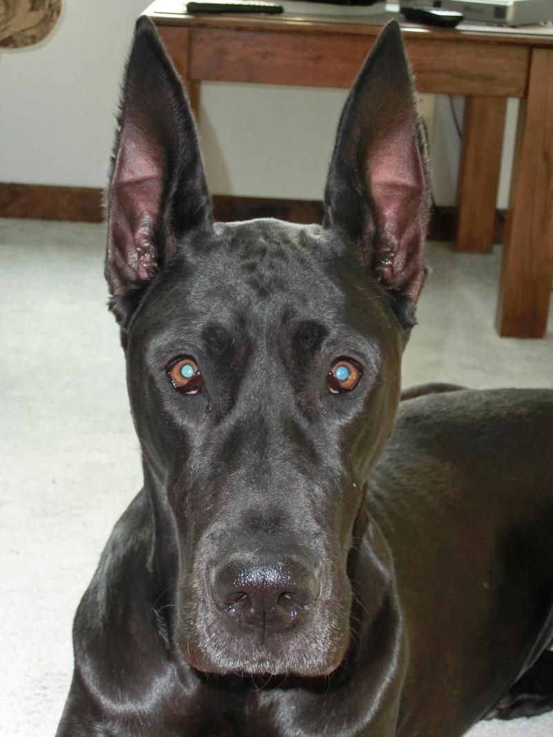 Adopt Tess on Great dane dogs, Great dane rescue, Dogs