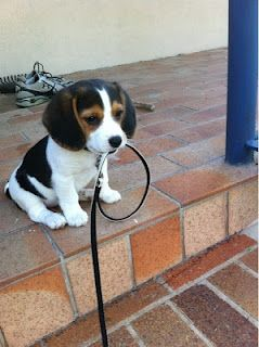 Cute Beagle Puppy Waiting For His Owner While Holding The Leash In