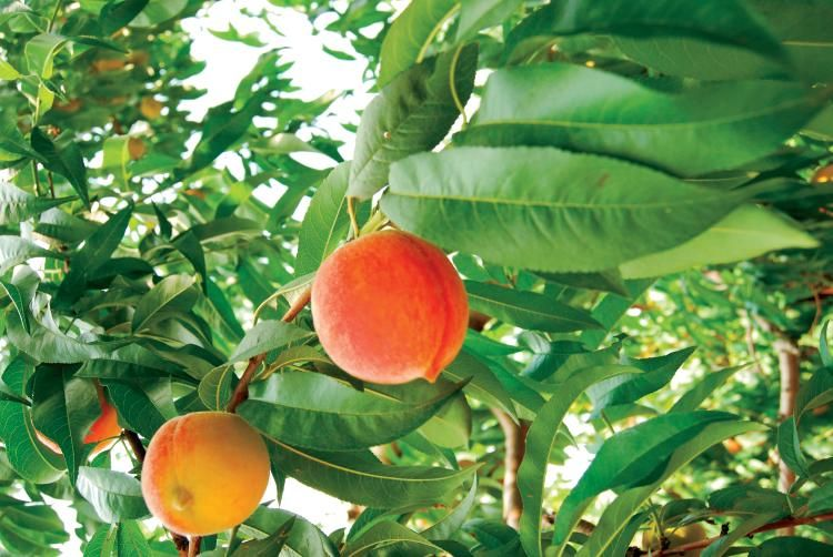 Peach on tree looking amazing as this fruit is among the tasty and delicious one.