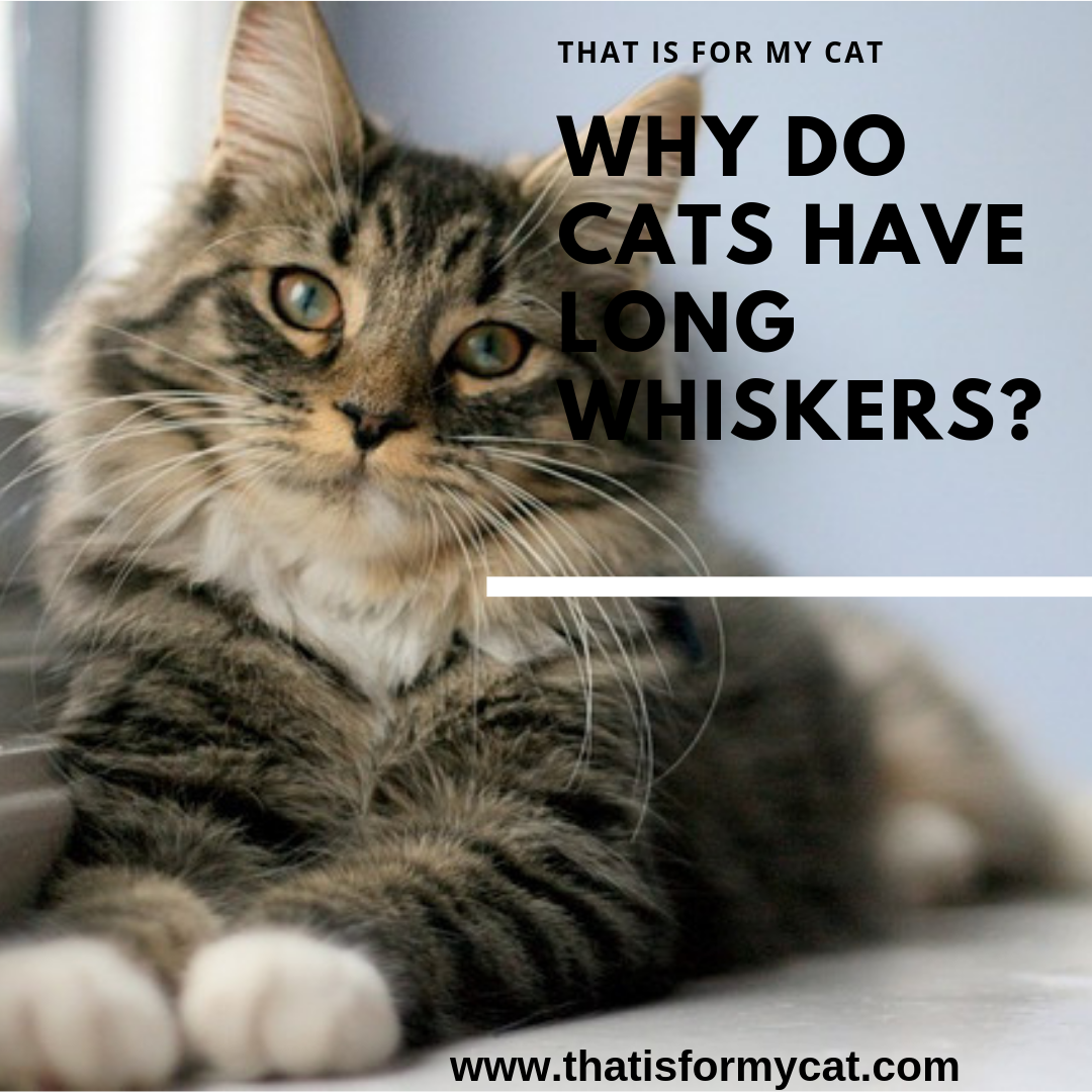Why Do Cats Have Long Whiskers