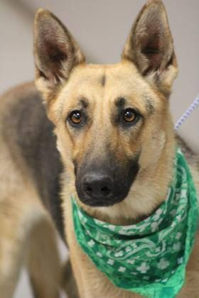 RESCUED>NAME: Abby  ANIMAL ID: 34228766 BREED: German shepherd  SEX: female  EST. AGE: 2 yr  Est Weight: 65 lbs  Health: Heartworm neg  Temperament: dog friendly, people friendly  ADDITIONAL INFO: RESCUE PULL FEE: $35  Intake date: 12/15 Available:12/21