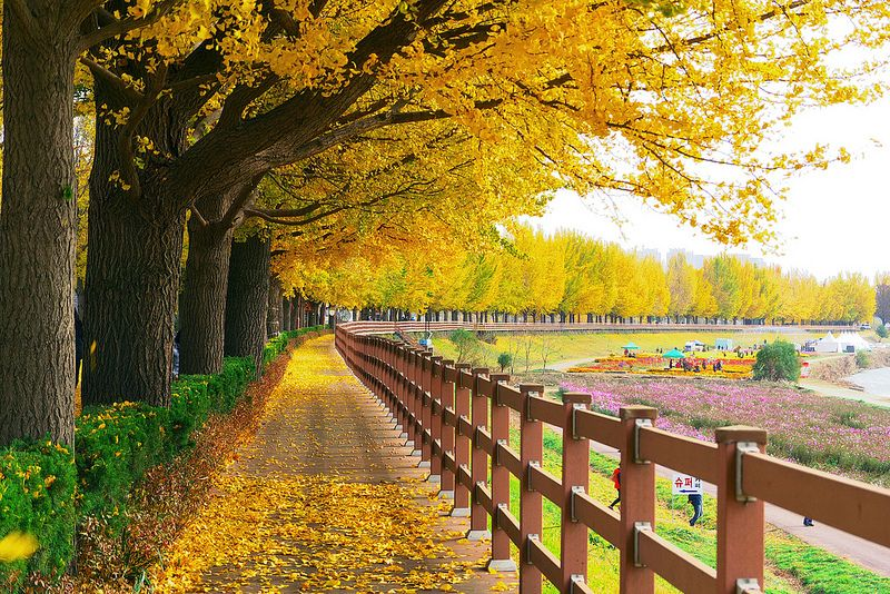 Image result for Asan Gingko Tree Road
