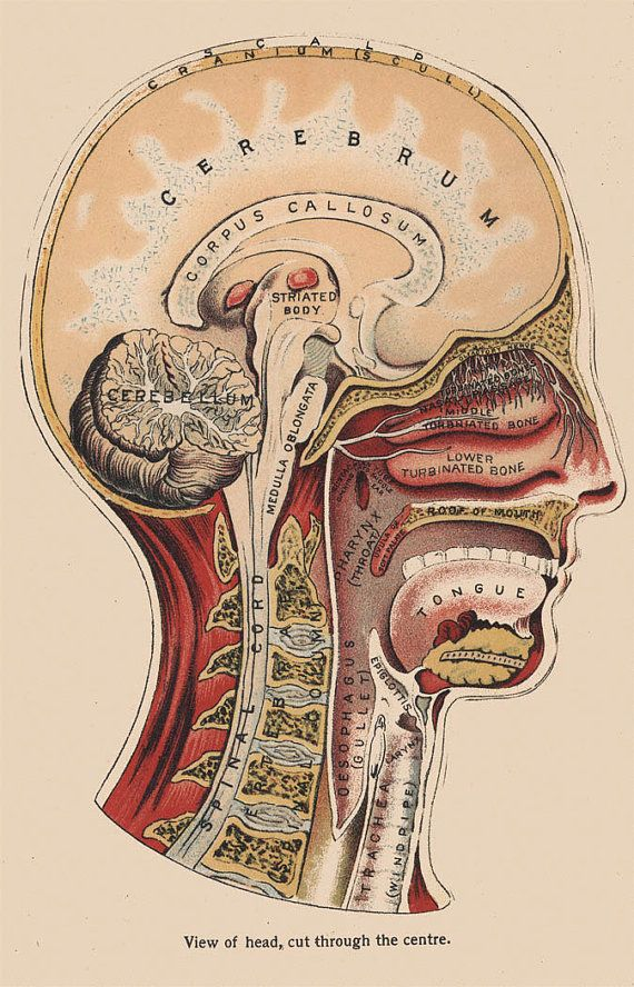Phrenology Greeting Card 1880s Corpus Callosum Brain Head Science Illustration Medical
