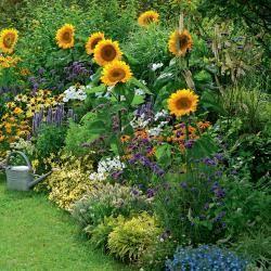 Sonnenblumen #cottagegardens