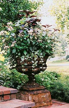 Container Gardening Recipe For Partial Sun Ode To An Urn 1 Chocolate Caricature Plant Graptophyllum Pictu Garden Plants Design Container Plants Garden Urns