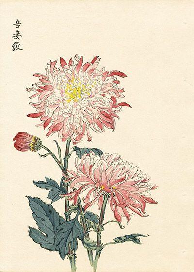 Keika Hasegawa Chrysanthemum Wood Block Prints 1st Edition 1893 Japanese Woodblock Printing Flower Art Art