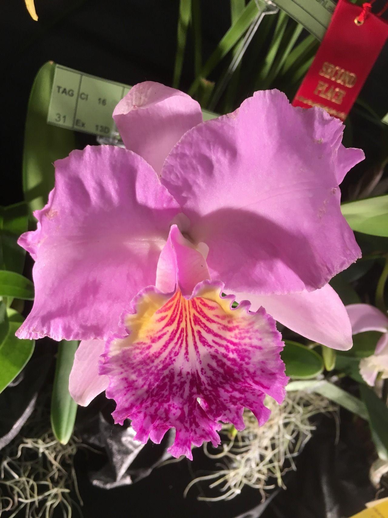 Cattleya Lueddemanniana Cattleya Orchid Photo Orchids