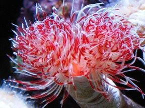 Coco Worm Marine Aquarium Feather Duster Weird Creatures