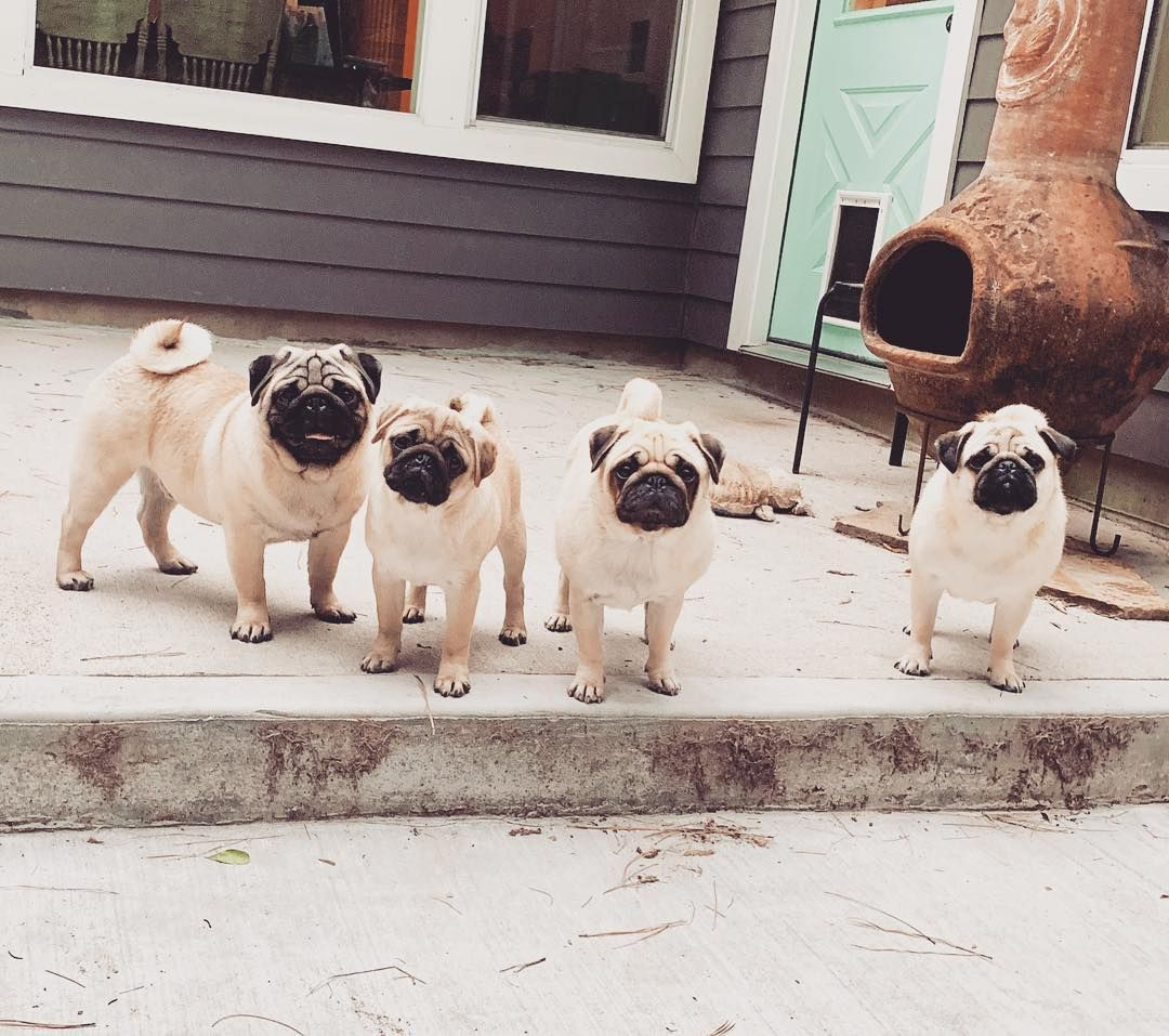 My Kids Are The Cutest Pug Pugs Dog Dogs