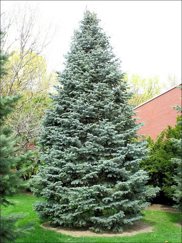 Abies Concolor White Fir Plants Trees To Plant