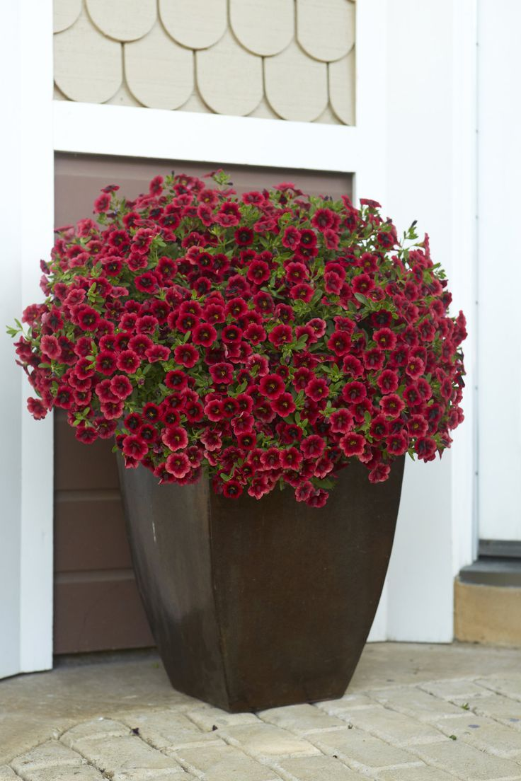 Velvety Red Blooms With A Dark Center Are Highlighted By A Tiny