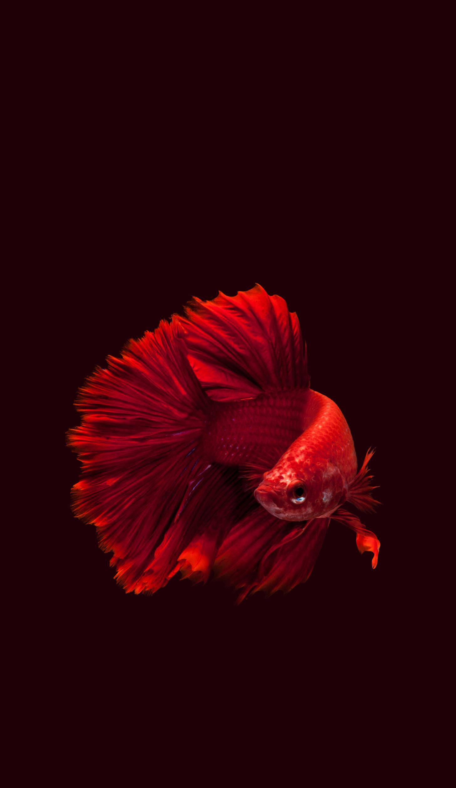 All Animals Wallpaper Dump Fish Wallpaper Siamese Fighting Fish Betta Fish