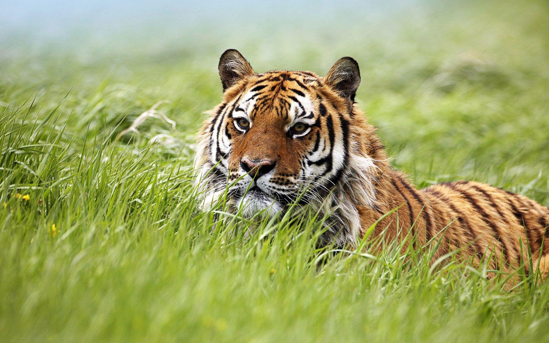 Hd Siberian Tiger Wallpaper Download Free 115201 Siberian Tiger Tiger Wallpaper Tiger