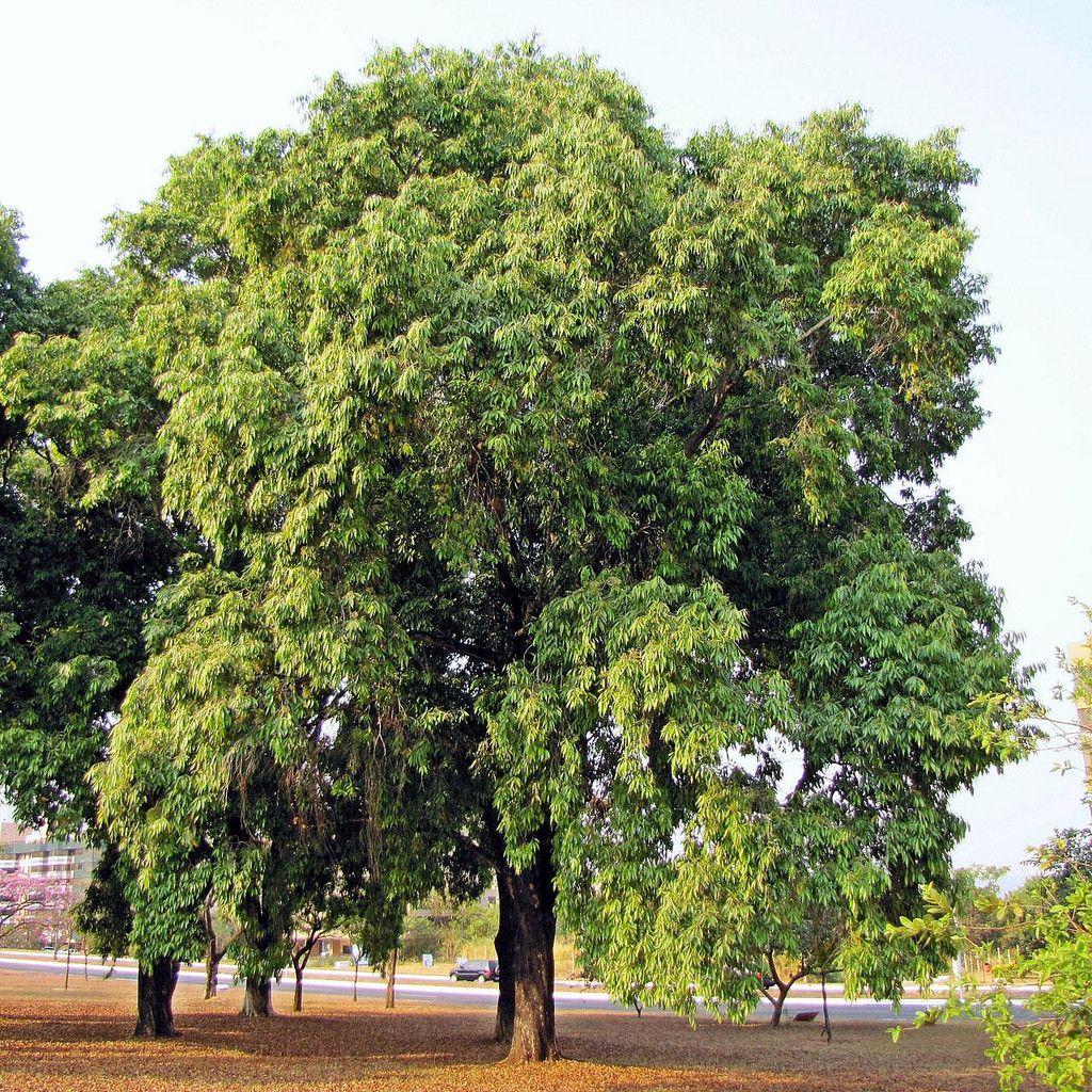 Buy Christmas Tree India: Black Walnut Tree, Trees To