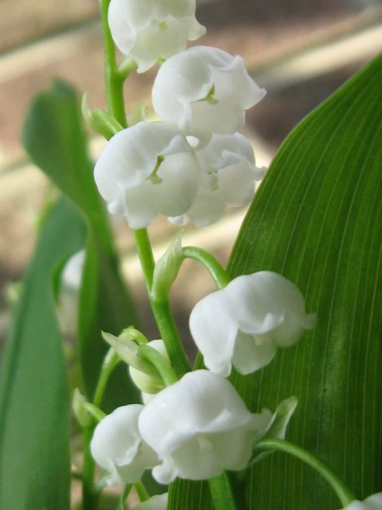 Convallaria Montana American Lily Of The Valley World Of Flowering Plants Planting Flowers Lily Of The Valley Plants