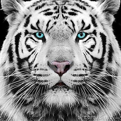 white-tiger-siberian-face-eyes-32012325.jpg | aminals,fish ...
