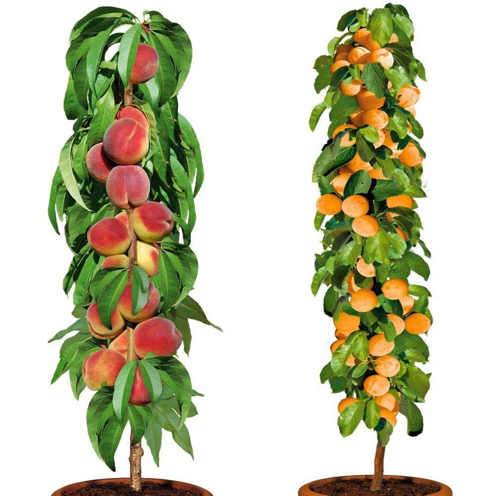 1 s ulen pfirsich 39 aida 39 1 s ulen aprikose 39 golden sun 39 im sparpaket online kaufen bei ahrens. Black Bedroom Furniture Sets. Home Design Ideas