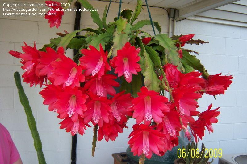Disocactus Ackermannii Epiphyllum Cacti Orchid Cactus Plant