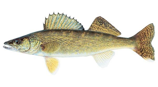 Agfc fishing by species walleye member of perch family for Ice fishing walleye videos