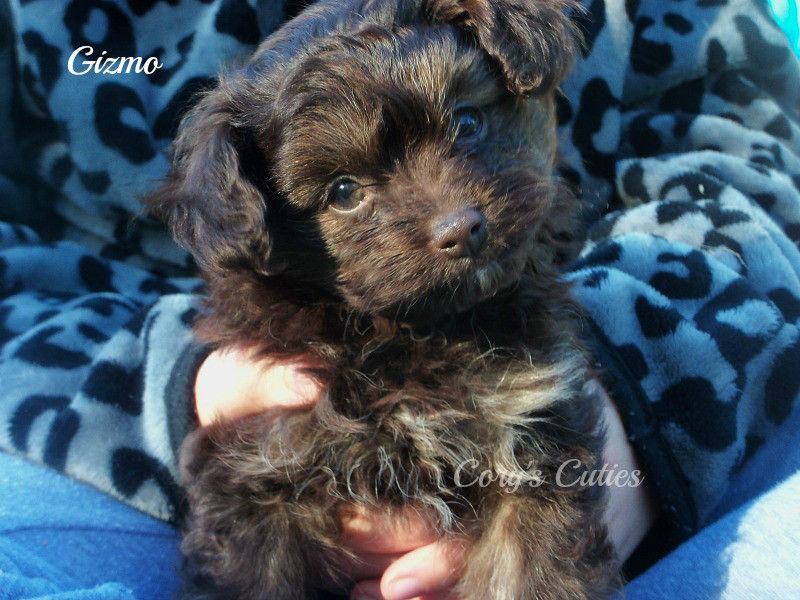 Pomeranian Poodle Toy Mix Puppy For Sale In Elkland Mo Adn