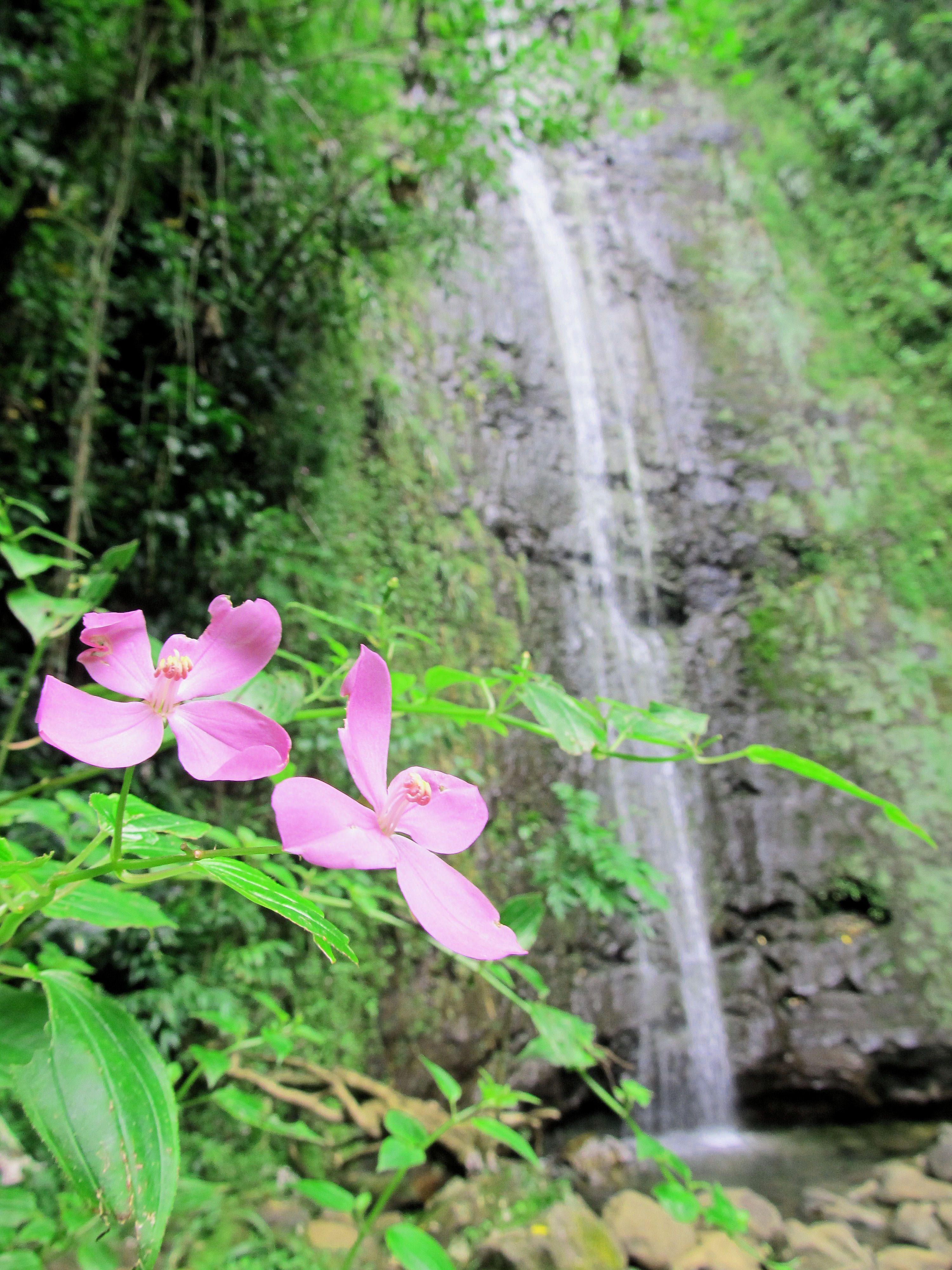 Manoa Falls.. Oahu, Hawaii