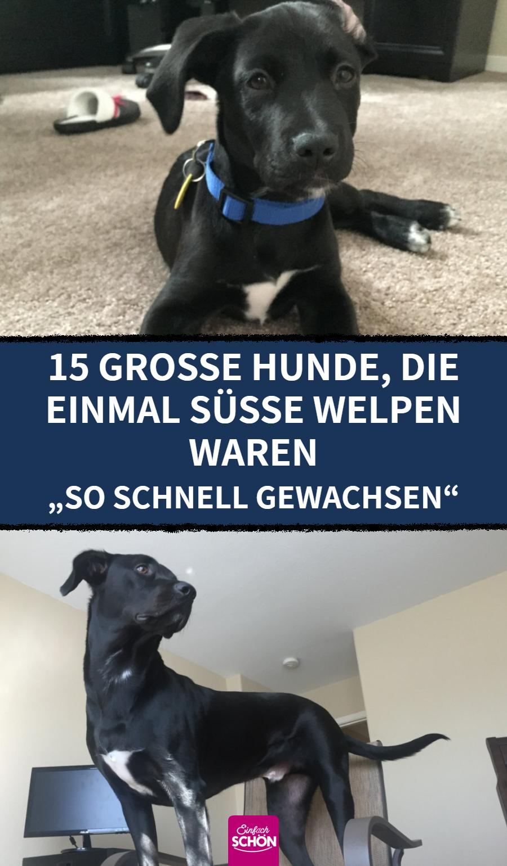 15 große Hunde, die einmal süße Welpen waren Auch große