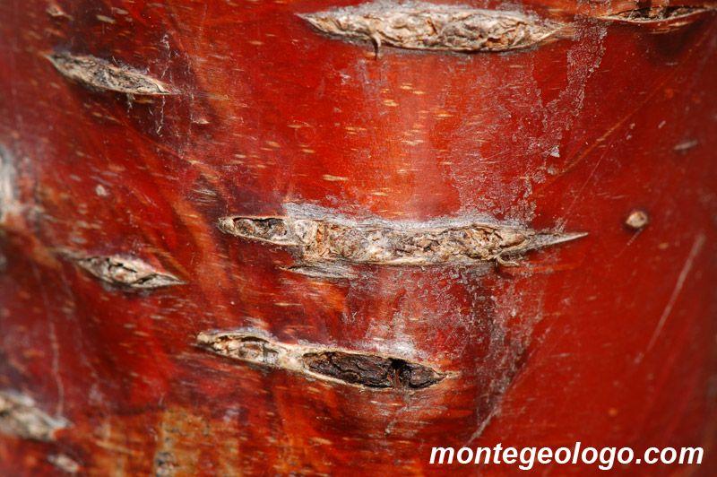 Ciliegio. Texture usata dal FantaPippo per i suoi copricapi. www.gioiellidinatura.it