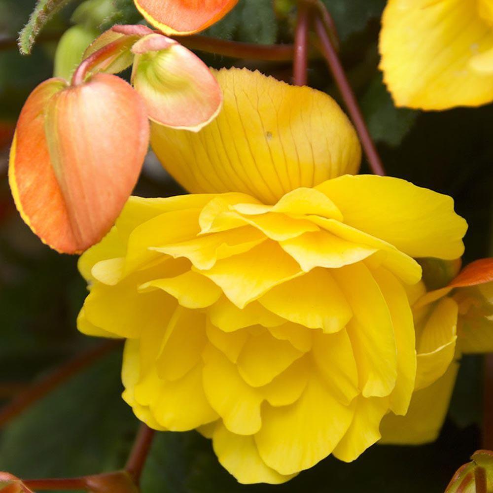 Brecks yellow pendula begonia bulbs 3pack73147