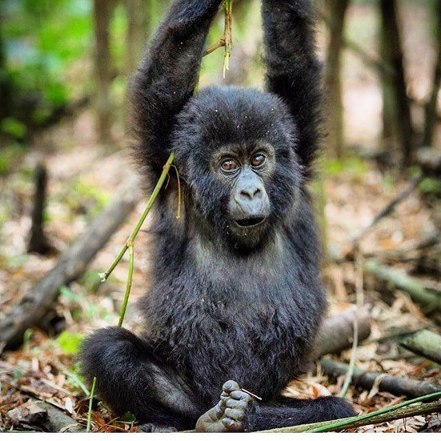 A juvenile mountain gorilla just hanging out! Look at that face! Photo by @theglobalphotographer #soultravelers #gorillatrekking #gondwana_ecotours by gondwana_ecotours