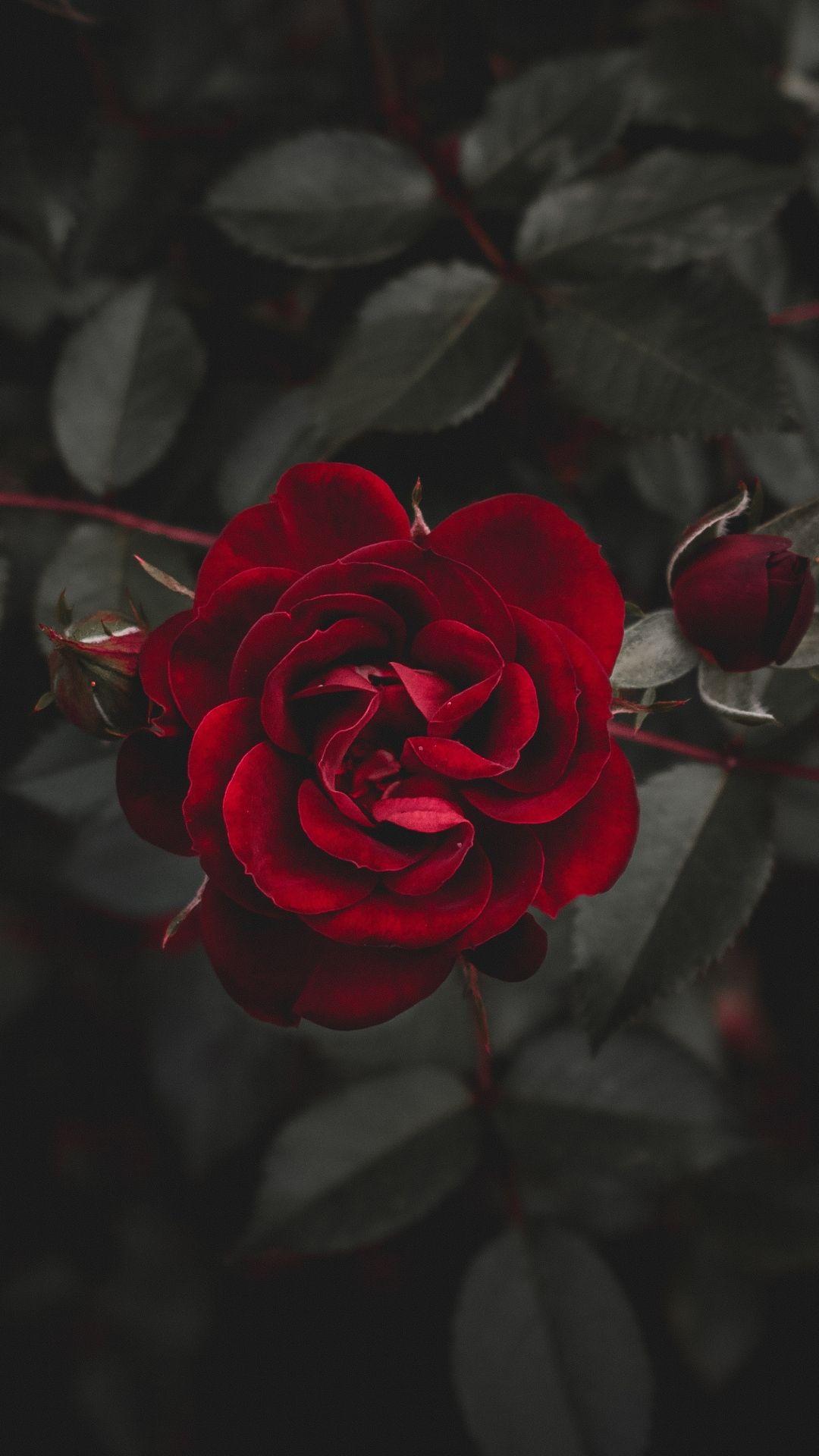 buy online 7e07e b5fe9 Rose red flower bud iPhone 8 wallpaper | Phone Backgrounds in 2019 ...