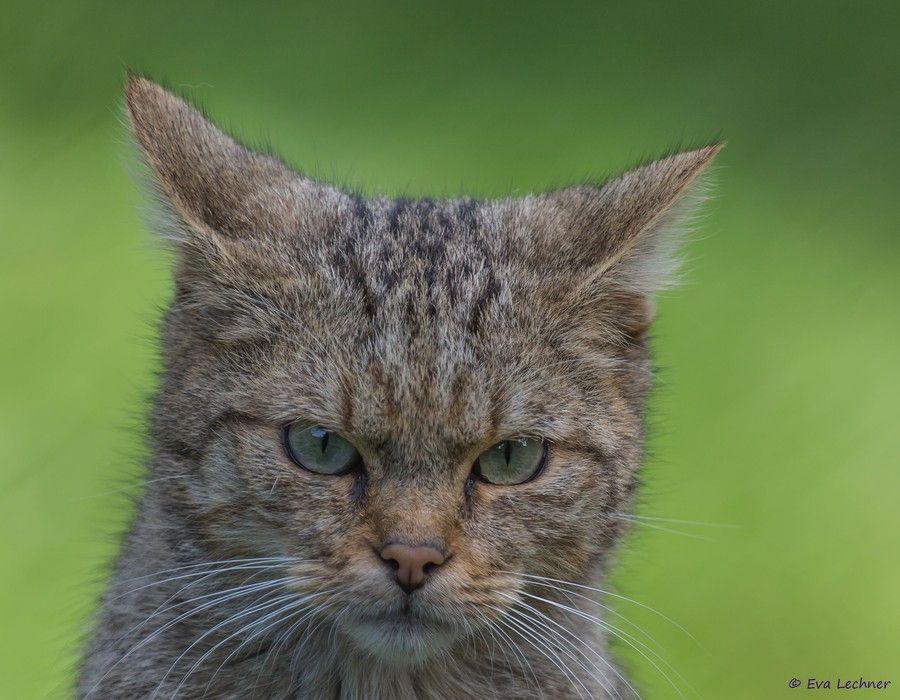 Wildcat by Eva Lechner on 500px
