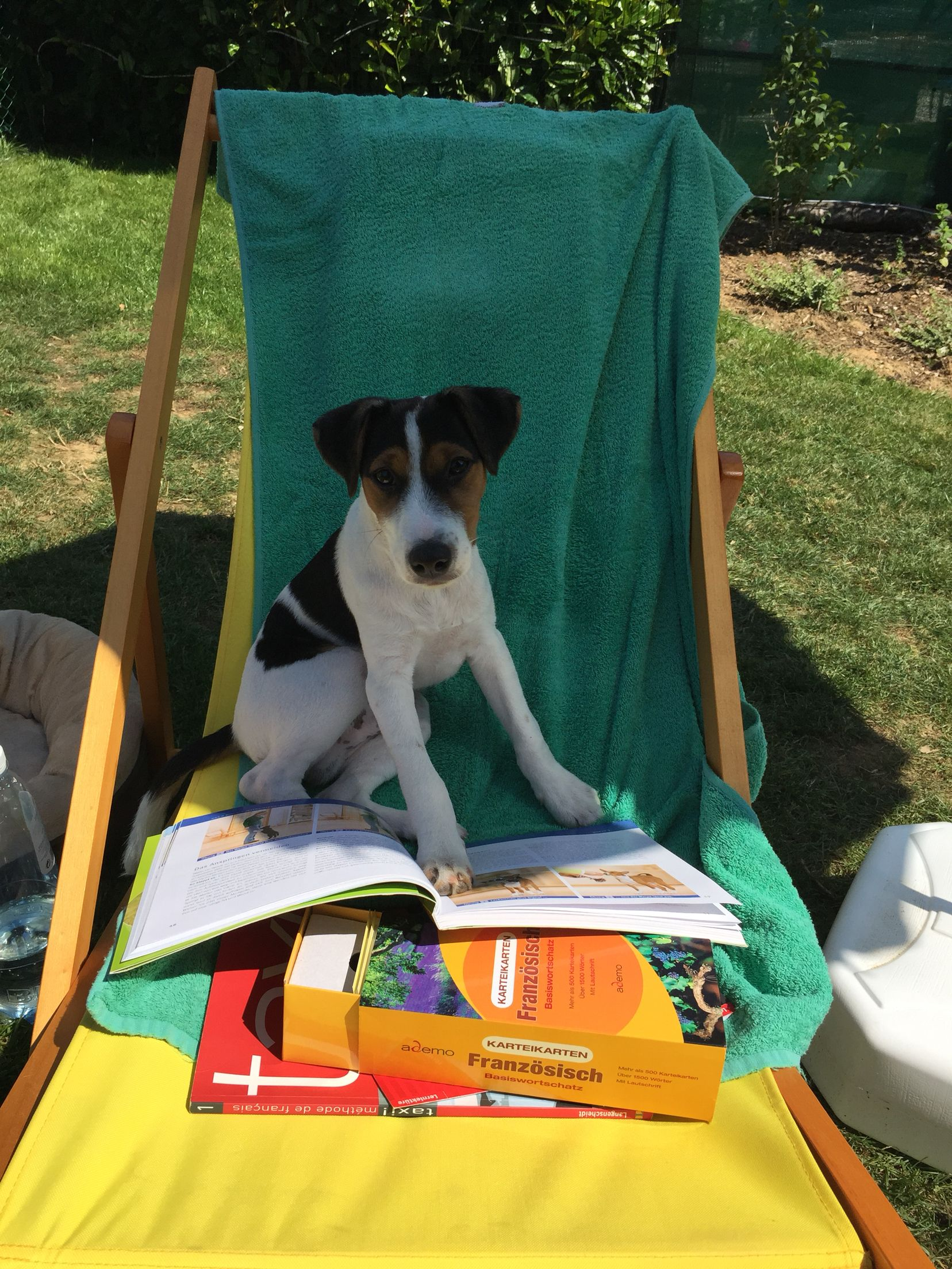 Parson Russel Terrier - relaxing and reading