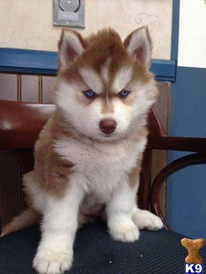 Siberian Husky Puppy For Sale Siberian Husky Akc Deep Red And