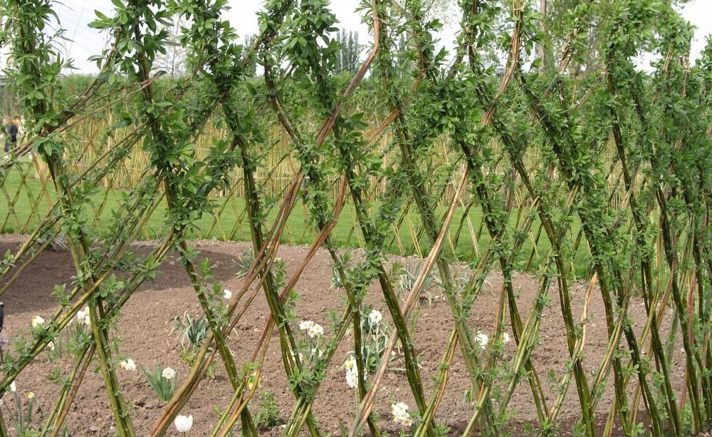 Weiden Pflanzen Als Sichtschutz