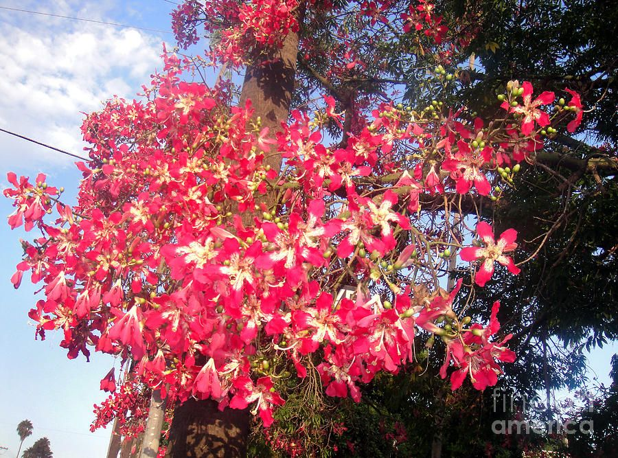 Pink Floss Silk Tree Ceiba Speciosa By Sofia Metal Queen Silk Tree Flowers Photography Silk Floss