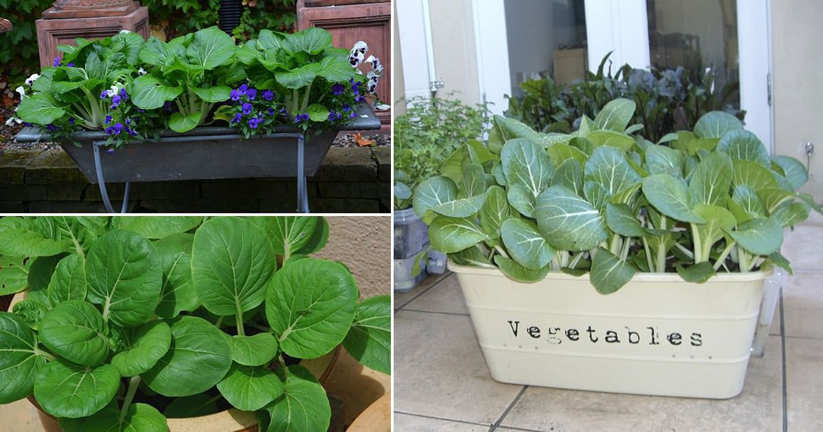 Everything about growing pak choi bok choy in containers