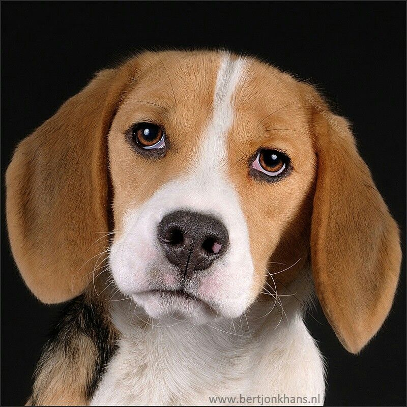 Portrait of a beagle My pictures of dogs Pinterest