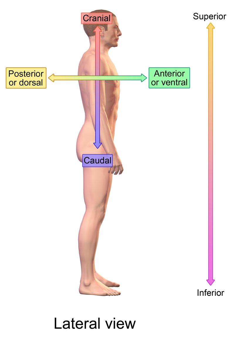 Define Human Anatomy Human Anatomy Study Pinterest Human
