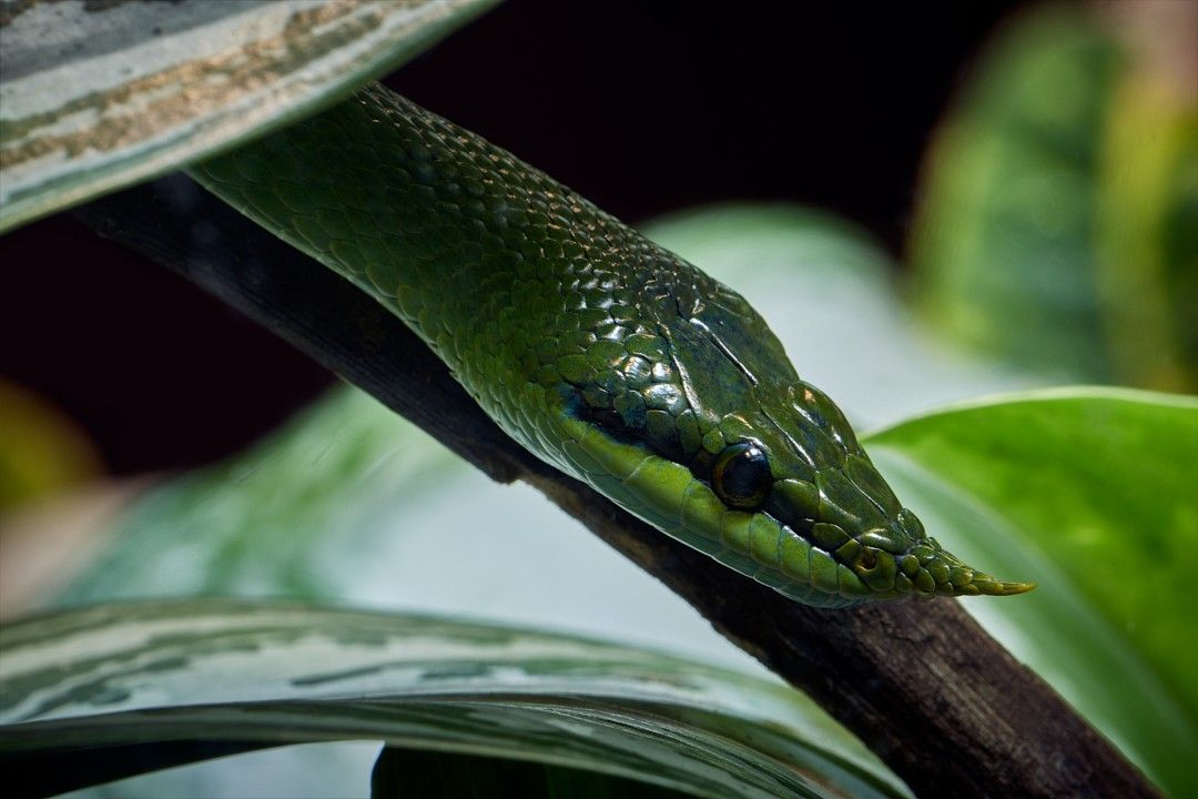 It Ain T Easy Being Green Rhinocerosratsnake Snake Herp Herping Vietnameselongnosedsnake Reptiles Snakes Reptile A Pet Snake Snake Lovers Rat Snake