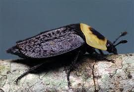 Carrion Beetle Beetle Animals Mites