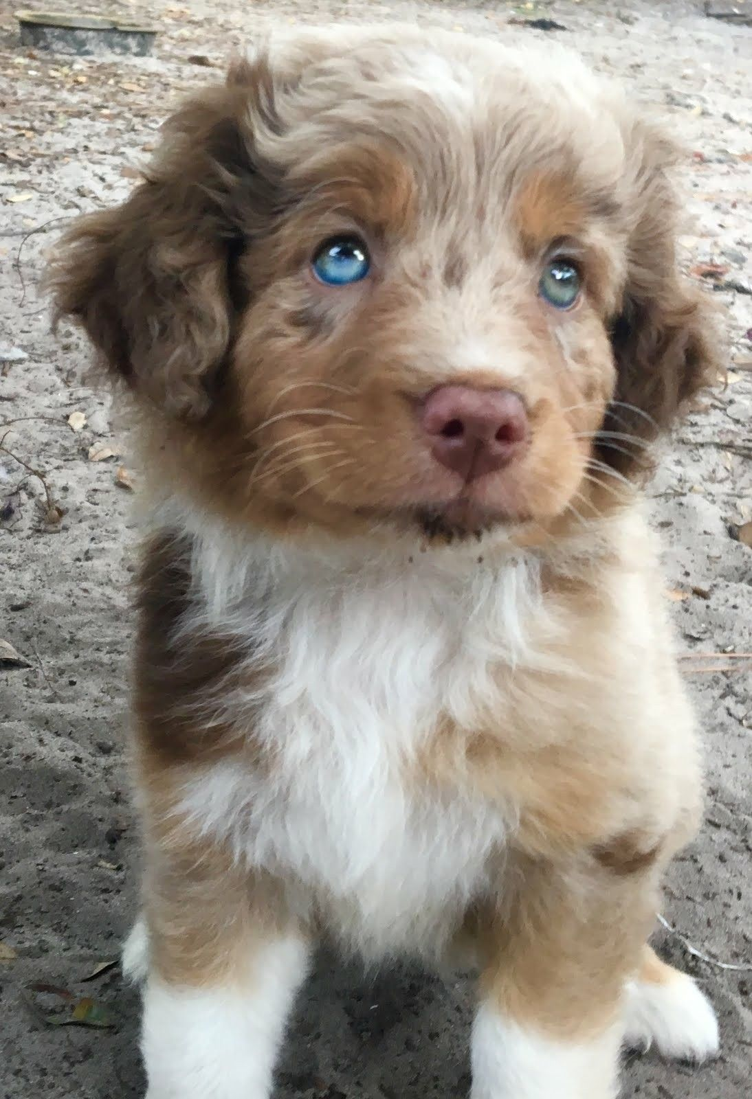 Aurora Aussie Australianshepherd Puppy Aussie Puppies