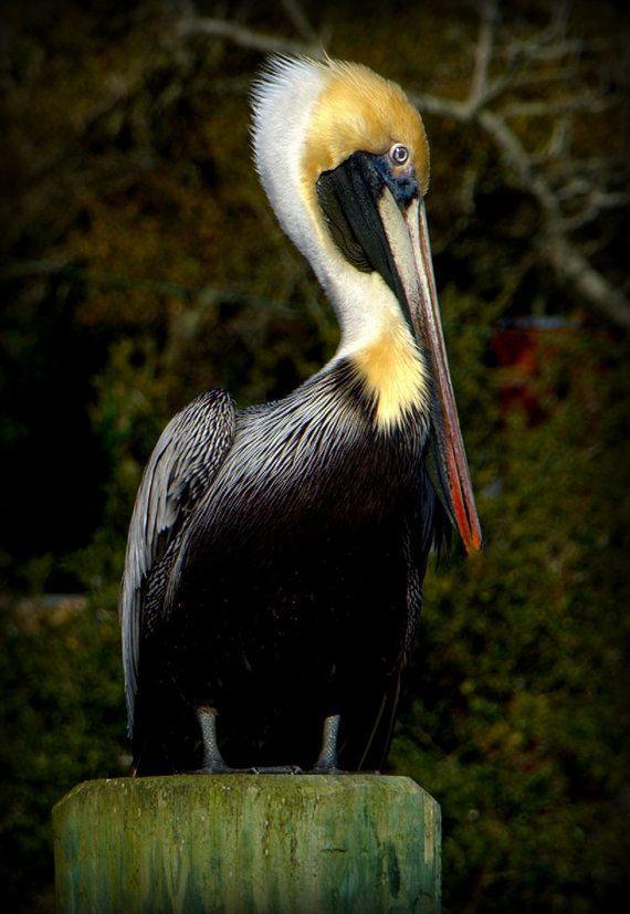 Nature Photography Pelican Bird Fine Art Southport North Carolina Prints Note Cards