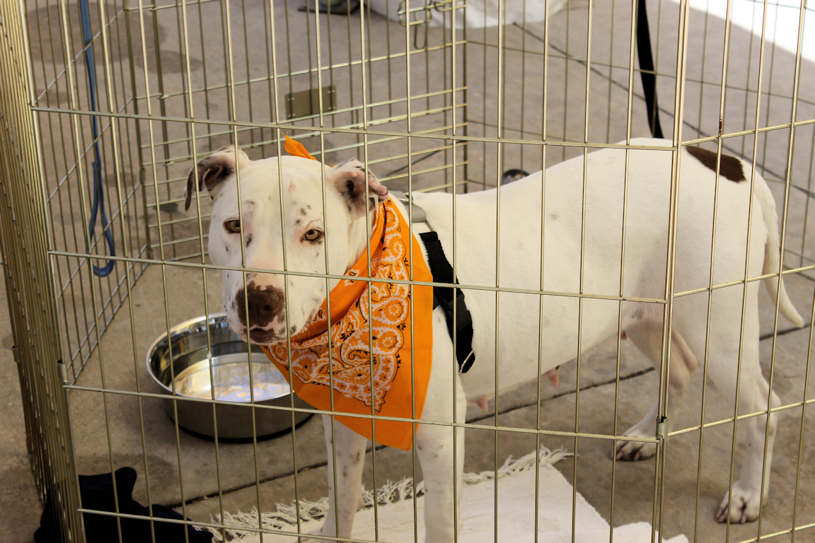 This Beautiful Dog Is From Friends For Life Animal Shelter In Houston Texas Pet Store Food Animals Animal Shelter