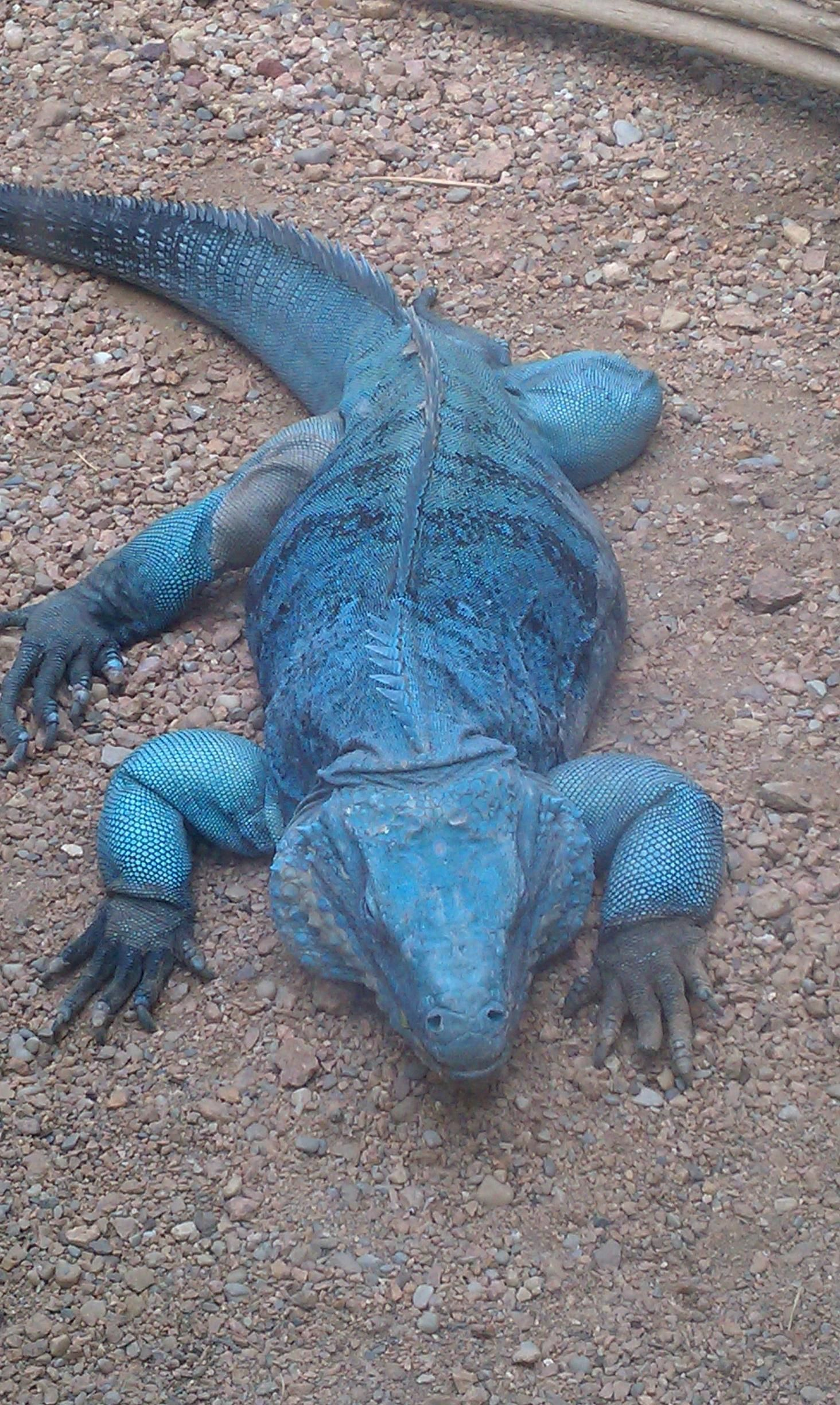 This Is A BIG Fella Grand Cayman Blue Iguana Or Island An Endangered Species Of Lizard The Genus Cyclura Endemic To