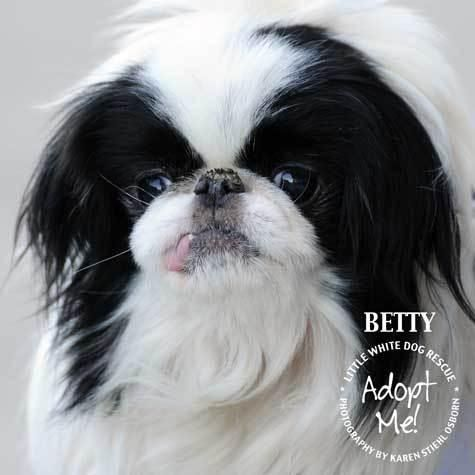 Japanese Chin - Betty on Petfinder