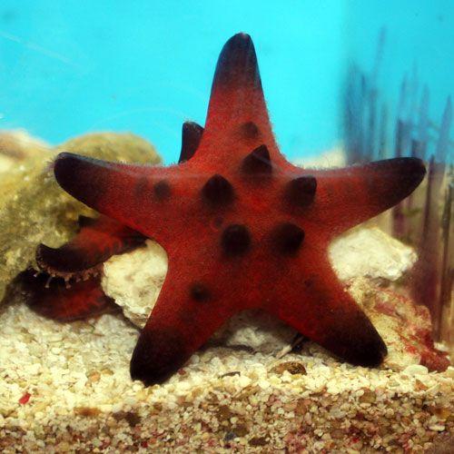 Chocolate Chip Starfish Protoreaster Nodosus Small Chocolate Chip Starfish Starfish Salt Water Fish