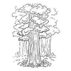 Redwood Tree Coloring Pages