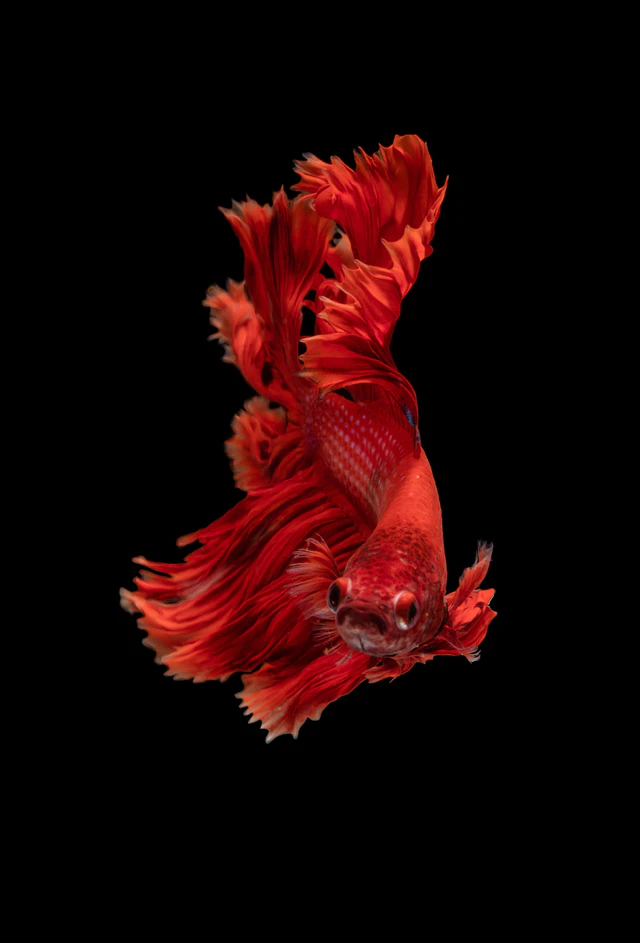 red Siamese fighting fish photo Free Animal Image on