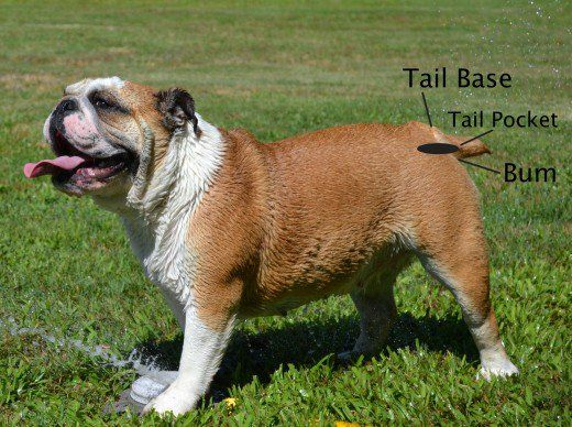 5 Things To Consider Before Owning An English Bulldog English Bulldog Bulldog English Bulldog Care