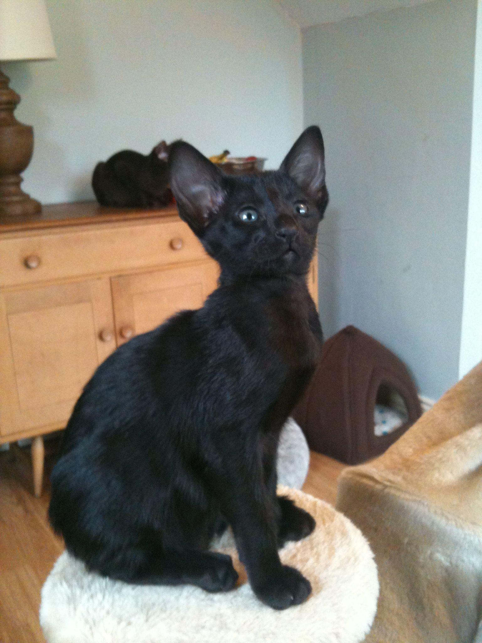 Oriental Black Kitten Oriental Cat Breeds Oriental Shorthair